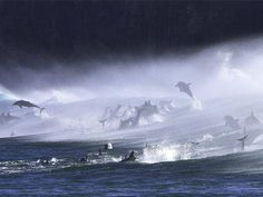 Bottlenose Dolphins in the surf