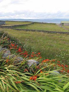 Beautiful fields, rock walls, wild crocosmia blooming: Aran Islands, Ireland