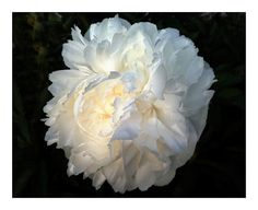 White Peony Blossom Maine Flower Series Early  by LovesParisStudio, $10.00