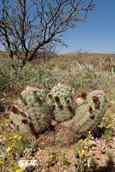 Echinocereus chloranthus subsp. cylindricus, USA, Texas, Kent  More Pictures at: http://www.echinocereus.de