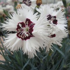 A Reblooming Garden Pink From The British Star Single Series Of Whetman Dianthus Stargazer Offers