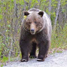 Grizzly 64 Photo by Jack Borno -- National Geographic Your Shot