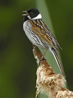 Reed Bunting - The common reed bunting (Emberiza schoeniclus) is a passerine bird in the bunting family Emberizidae.  It breeds across Europe and much of temperate and northern Asia.