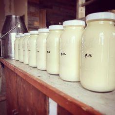 Grass fed raw milk! Raw Milk, Grass, Mason Jars, Dairy, Grasses, Mason Jar, Herb, Glass Jars, Jars