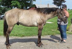 World champion Dun Factor stallion. Quality foals for sale. Quarter Horses, American Quarter Horse, Horse Stalls, Horse Barns, Pretty Horses, Beautiful Horses, Brindle Horse, Horse Coat Colors, Horse Saddles
