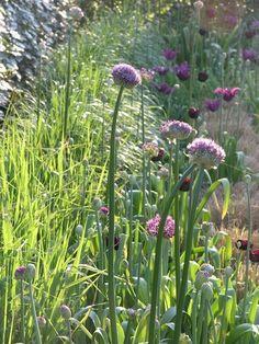 Diamantgras met alliumsoorten  purple sensation 20, giganteum 15, nigrum 25, globemaster 25 en Allium atropurpureum 50  en tulpenmix donker en rose 200st