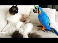 Animalades Ryazan: videos de risa de loros molestando a los gatos