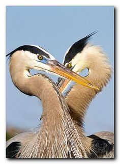 Blue Heron Couple
