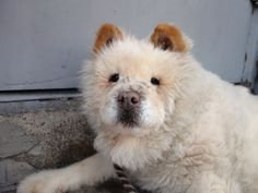 SAFE ! 2/8/14  Brooklyn Center    BUMPER - A0701093  *** RETURNED ON 2/8/14 ***   I am a spayed female, cream Chow Chow mix.   The shelter staff think I am about 10 years old.   I weigh 61 pounds.   I was found in NY 11436.   I have been at the shelter since Feb 08, 2014