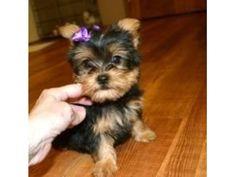 Mini Yorkie, Teacup Yorkie For Sale, Yorkie Puppy For Sale, Pet Puppy, Puppies For Sale, Micro Teacup Puppies, Cheap Puppies, Teacup Dogs, Teacup Maltese