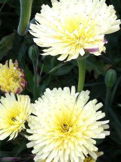 Flor CR