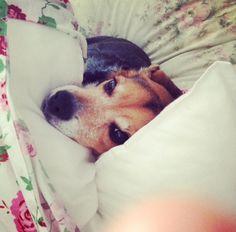 Dolly - beagle - chien - chiot - mignon - adorable - chou - doudoune - fillette - bébé - blog - blogueuse - projets - découvrir