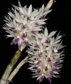 Native Philippine Flowers