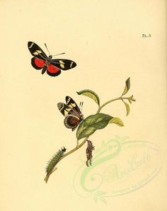 The Biodiversity Heritage Library works collaboratively to make biodiversity literature openly available to the world as part of a global biodiversity community. Old Book Pages, Art Clipart, Flora And Fauna, Picture Collection, Free Illustrations, Natural History, Wall Collage, Art History, Butterfly