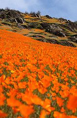 Field o' orange