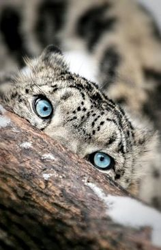 I researched this and found that Snow Leopard cubs have blue eyes,but the adults have pale green to gray eyes. This looks like an ault & I have frequently seen pins like this so I decided to research it myself, because I love cats & didn't think that leopards have blue eyes...K♥