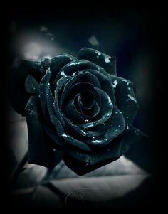 Rosas negras on pinterest black roses roses and dark for Do black roses really exist
