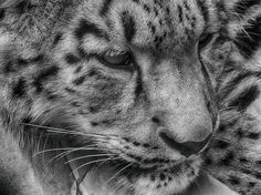 Nice Close-Up of a Clouded Snow Leopard.