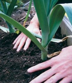 A great guide on how to grow leeks.  So expensive in the stores, so easy to grow!