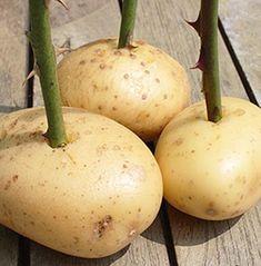 Summer Garden, Caramel Apples, Garden Landscaping, Pear, Fruit, Ethnic Recipes, Plants, Ideas, Attila