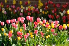 (Photo by Tom Gralish) Last week I spent the morning photographing 5,000 tulips in Haddonfield (gallery here). I wondered if whoever (The Haddonfield Tulip Co.) planted the tulip bulbs