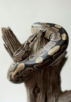 Ball Pythons! - I've wanted one since I was a kid. :) They're so beautiful and have such amazing temperments! <3