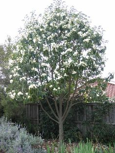 The magnolia is a flowering tree common to the Southern U.S., although cold-hardy cultivars have made their way northward. An easily recognizable broad-leafed evergreen tree, the magnolia is best known for its fragrant white blossoms that can easily reach 12 inches in diameter.