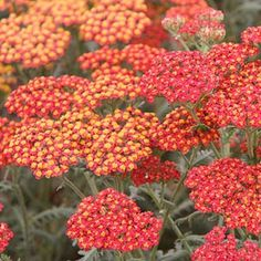 'Walther Funcke' achillea (yarrow) Height: Medium / Plant apart Sun-Shade: Full Sun to Mostly Sunny Zones: Ornamental Grass Landscape, Plants That Attract Butterflies, Achillea Millefolium, Easy Care Plants, Mostly Sunny, Sandy Soil, Drought Tolerant Plants, Growing Herbs, Edible Garden