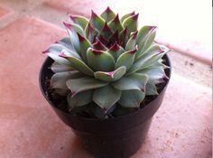 Succulent Plant   1  Sempervivum calcareum by SucculentOasis, $6.00