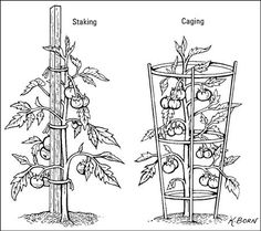 plants not growing Pruning your Tomato Plants Stake or cage your tomatoes. and basic tips on growing tomatoes