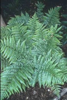 Lacy Autumn Fern for sale buy Dryopteris erythrosora var. prolifica -2' tall. In humid climates, the fronds will produce new plantlets along the edges of the leaves