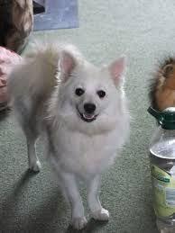 Volpino Italiano Piccolo Ed Intelligente | Pets | Pinterest | Piccolo,  Bracco Italiano And Japanese Spitz