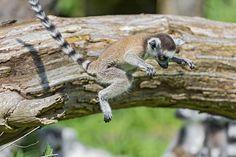 Jumping baby lemur