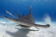 Un pasto con il sub: lo squalo martello mangia con lui