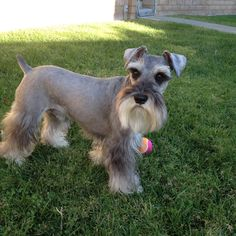 This is Zackary a darling little mini schnauzer playing ball in the backyard✨✨