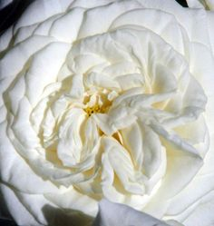 #Alabaster. Order them online @ www.parfumflowercompany.com or go visit your florist.