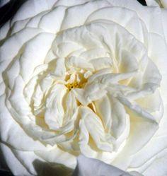 #Alabaster. Order them online @ www.parfumflowercompany.com or go visit your florist.