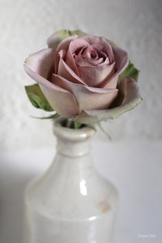 Amnesia rose ~ Sania Pell