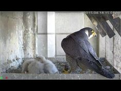 Four chicks of peregrine falcon at Brussels cathedral - see www.valkenvooriedereen.be for life footage
