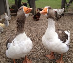 Pomeranian geese were bred by Northern German farmers in Pomerania in 1500 to guard their livestock.  These geese are very protective of the chickens.