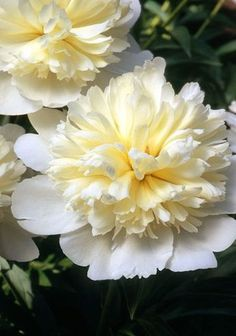 What Makes a Great Peonie Heirloom Peony 'Golden Dawn' Amazing Flowers, White Flowers, Beautiful Flowers, Exotic Flowers, Yellow Roses, Purple Flowers, Pink Roses, Peonies Garden, White Gardens