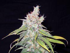Pro Grow LED PGX5-600: Week 9 Harvest Begins | Growing Medical Marijuana