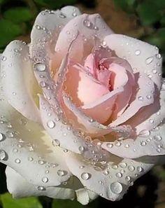 роза - Схемы вышивки - qimikc - Авторы - Портал «Вышивка крестом»