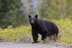 A beautiful black bear in the Great Smoky Mountains