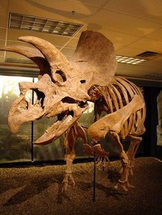 Triceratops on display at The Woodlands Exploration Station, Texas.