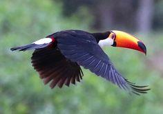 Costa Rica, Bird, Animals, Animaux, Birds, Animal, Animales, Animais