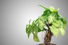 With an assist from genetic engineering, a common vine could someday serve as a crucial component of an indoor air filter. Types Of Ivy, Golden Pothos, Mini Greenhouse, Purifier, Calendula, Echeveria, Paint Cans, Houseplants, Indoor Plants