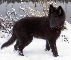 Groenendael – Black Belgian Shepherd