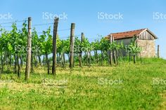 Early summer in the vineyard. Stock Foto, Illustration, Vineyard, Summer, Plants, Pictures, Image, Photos, Illustrations