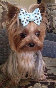 Yorkshire Terrier – Enerjik ve Sevecen - Pets Training Yorkies, Yorkie Puppy, Yorky Terrier, Terrier Dogs, Cute Puppies, Cute Dogs, Dogs And Puppies, Poodle Puppies, Yorkshire Terriers